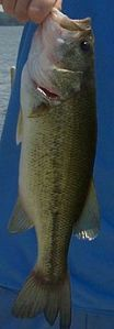 Largemouth bass, caught and released in Minnesota