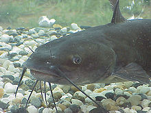 The channel catfish has four pairs of barbels
