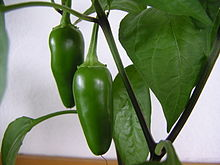 Immature Jalapeños that are still in the plant pot