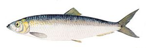 The Atlantic herring,