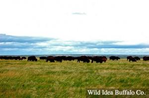 Wild Idea Buffalo Grass Fed Buffalo