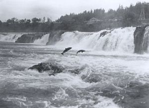 Pacific salmon leaping at Willamette Falls, Oregon