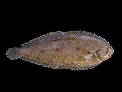The common sole (or Dover sole)