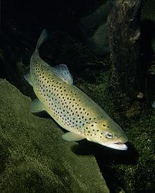 Brown trout, Salmo trutta m. fario