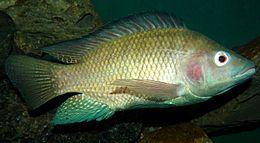 Nile tilapia, Oreochromis niloticus