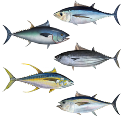 Tunas (from top): albacore, Atlantic bluefin, skipjack, yellowfin, bigeye