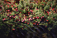Cranberry bush with fruit partially submerged