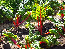Red chard growing at Slow Food Nation