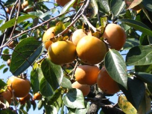 A branch heavily laden with persimmons