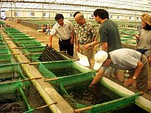 An abalone farm