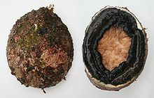 Dorsal (left) and ventral (right) views of the blacklip abalone