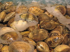 Edible clams in the family Veneridae