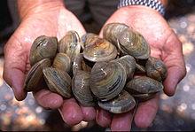 Littleneck clams, small hard clams, species Mercenaria mercenaria