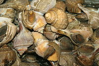 A group of large eastern conches or whelks for sale at a California seafood market