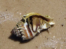 A shell of the Florida crown conch Melongena corona inhabited by a hermit crab