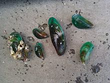 The Asian green mussel