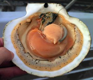 A live opened scallop showing the internal anatomy