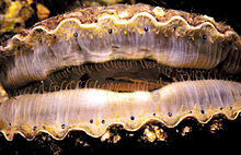 An edge-on view of a live scallop with the valves open