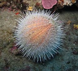 The sea urchin (Echinus melo)