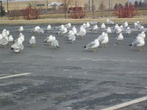 Seagulls 007