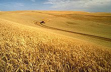 Wheat harvest on the Palouse, Idaho, United States