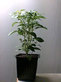 Basil sprout at an early stage