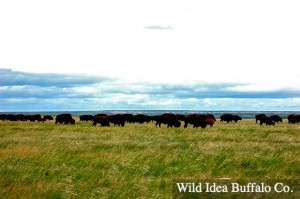 Wild Idea Buffalo Grass Fed Buffalo
