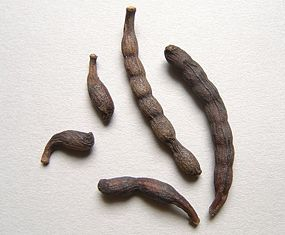 Grains of Selim seed pods