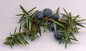 Juniper berries, here still attached to a branch, are actually modified conifer cones.