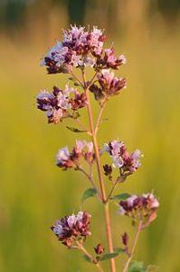 Flowering oregano