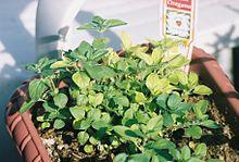 Oregano growing in a pot