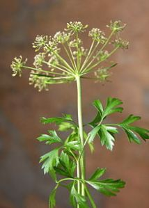 Parsley leaves and flowers