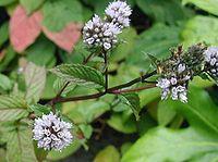 Peppermint flowers.
