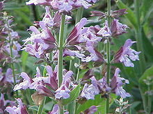 Flowers of Salvia officinalis