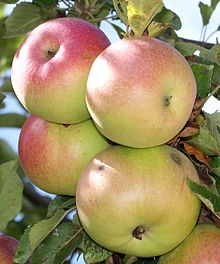 McIntosh apples on a tree