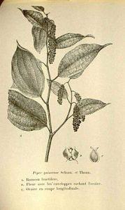 Piper guineense